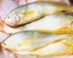 大 黄 鱼